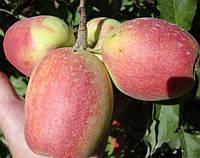 Саженцы яблони СЕНАП АЛМАТИНСКИЙ (двухлетний) зимний срок созревания