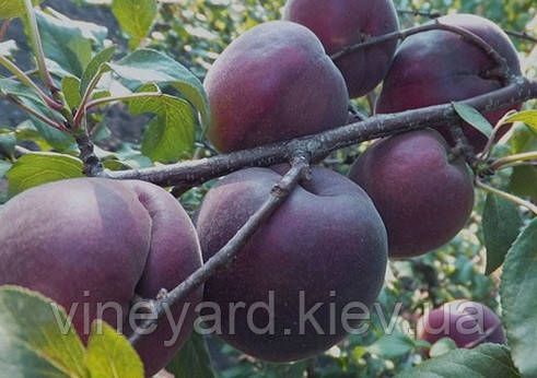 Абрикос, сеянец Жардель, саженцы абрикоса, Черный принц, собственное производство