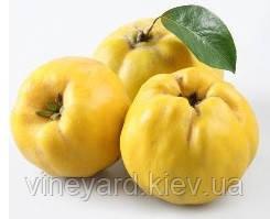 Айва яблочная, Ivy is apple саженцы айвы на сеянце дикой айвы