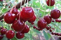 Десертная Морозовой, Dessert Morozova саженцы вишни на подвое магалебка
