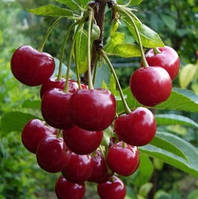 Чудо вишня, Miracle of cherry саженцы вишни на подвое магалебка