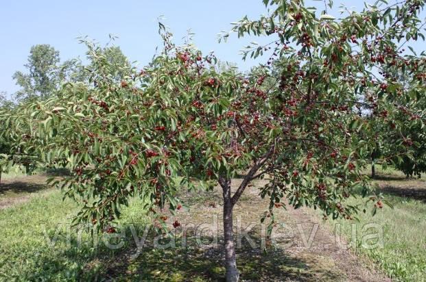 Магалебка, подвой вишни, саженцы Чудо вишня, собственное производство