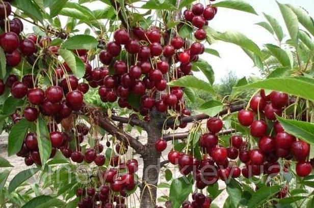 Вишня Встреча, магалебка, подвои вишни, саженцы вишни, собственное производство