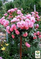 """Роза штамбовая """"Rosarium Vetersen"""" (саженец класса АА+) высший сорт"""