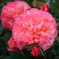 Роза полиантовая 'Augusta Luise' в 7-литровом контейнере