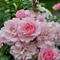 Роза полиантовая 'Bonica' в 7-литровом контейнере