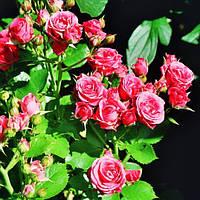 Роза бордюрная 'Dynamit Spray' в 7-литровом контейнере