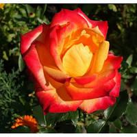 Роза флорибунда 'Mein Munchen' в 7-литровом контейнере