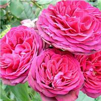 Роза плетистая 'Pink Musimara' в 7-литровом контейнере
