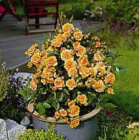 Роза бордюрная 'Clementine' в 7-литровом контейнере