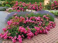 Роза бордюрная 'Pink Carpet' в 7-литровом контейнере
