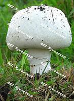 Мицелий грибов (семена) вешенки/шампиньона/ шиитаке