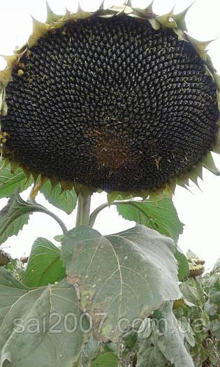 Семена подсолнечника Гольфстрим (Флоренция)