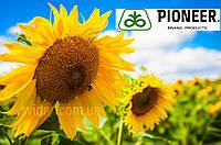 Гибрид подсолнечника P64F50 новый урожай 2017 г