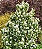 Саженцы ирги Amelanchier alnifolia (двухлетний)