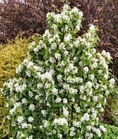 Саженцы ирги Amelanchier alnifolia (двухлетний), фото 1