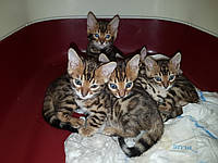 Котята РЕЗЕРВИРОВАНИЕ (3 мальчика и 2 девочка) - BEN n24 Розетка на золоте (помёт 13 Июля 2017г.)