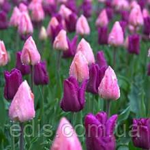 Арт-набор Пастель 9 луковиц тюльпанов