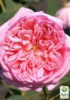 """Роза миниатюрная """"Sonia"""" (саженец класса АА+) высший сорт"""