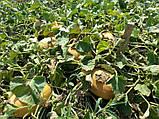 Семена дыни Мазин F1 (МАФ 35 F1) / Mazin F1 (MAF 35 F1), 5000 семян, фото 3