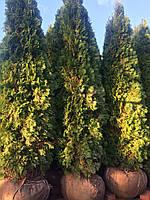 Туя западная Смарагд (Thuja occidentalis Smaragd) h300+