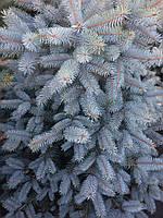 Ель Колючая Блу Даймонд (Picea pungens Blue Diamond)