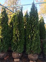 Туя западная Смарагд (Thuja occidentalis Smaragd)  h 2.3-2.5