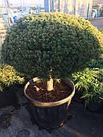 Бонсай - Pinus sylvestris 'Saxatilis'
