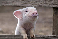"""G pig Sows"""" 1% (супоросні та лактуючі свиноматки) тм Gepard в Полтаве gepardd.com"""