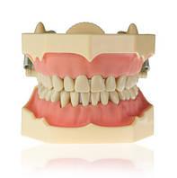 Модель тренировочная со съёмными зубами (нижняя и верхняя челюсть) HTS-A7-01