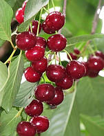 Вишня высокоурожайная «Мелитопольская десертная», 110-130 см