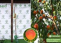 Персик ранний Редхевен, 1,2-1,5 метра