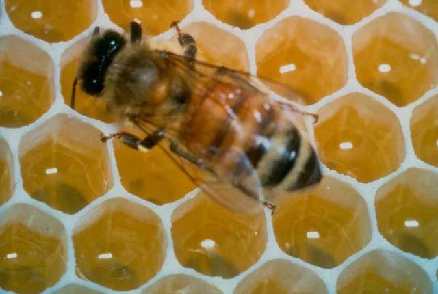 Акарапидоз — болезнь взрослых рабочих пчел, маток и трутней
