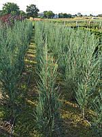 Можжевельник скальный 'Blue Arrow' (juniperus scopulorum Blue Arrow)