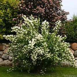 Жасмин садовый (чубушник)