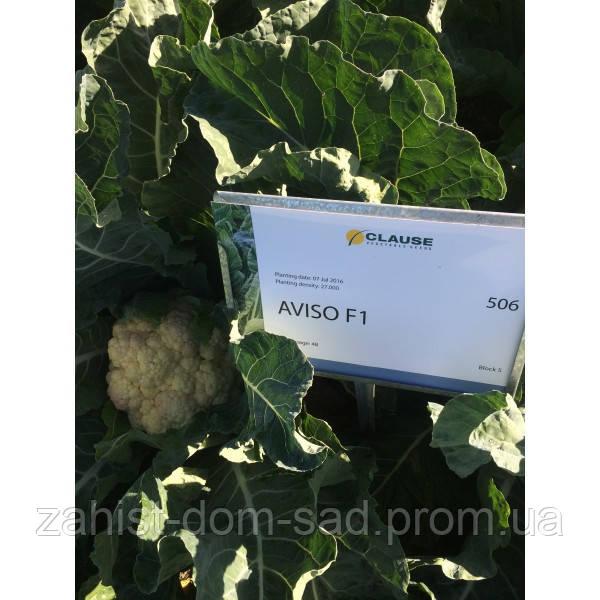 Авизо F1 (Clause) 2500 семян - середнераняя (70-75 дней), цветная