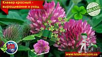 Клевер красный – выращивание и уход. Органическое удобрение для сада и огорода.