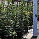 Гортензия черешковая 'Petiolaris' в 3-литровом контейнере, фото 3