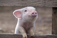 """БВМД """"G Pig Prestart"""" 30% (для поросят від 0 до 8 кг)   gepardd.com"""