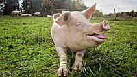 """БВМД GПіг Гровер"""" 15% (відгодівля свиней від 35 до 70 кг) в Полтаве  gepardd.com"""
