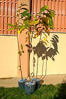 АЗИМИНА \Pawpaw\ саженцы,\сортовые\ 6 летние саженцы с цветочными почтами, высотой -2,0 -2.2 м