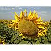 Семена подсолнечника НС-Х-498 SUMO (Гранстар)