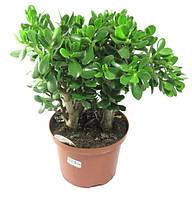 Крассула (Денежное дерево) 40см