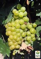"""Привитый виноград """"Мускат Оттонель №9"""" (винный сорт, подвой СО-4)"""