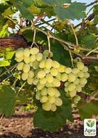 """Привитый виноград """"Алиготе №12"""" (винный сорт, подвой СО-4)"""