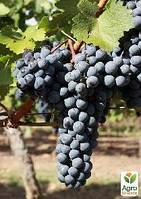 """Привитый виноград """"Каберне Таврийский"""" (винный сорт, подвой СО-4)"""