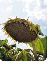 Альзан  (ALFA Seeds)
