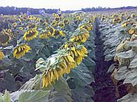 """Семена подсолнуха """"Дарий"""". Высокоурожайный. Олеинового типа"""