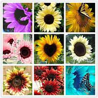 Декоративный карликовый подсолнух: семена! Упаковка 50 шт., фото 1