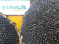 Семена подсолнечника ЕС АРТИК, устойчив к семи рас заразихи A-G, 107 дней,  Евралис Семанс / Импорт /  2015г